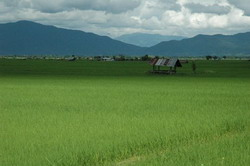 Rice paddies with forested hills.