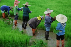 Preparing rice seedlings for transplanting.