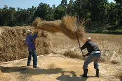 The hard work of hand threshing.